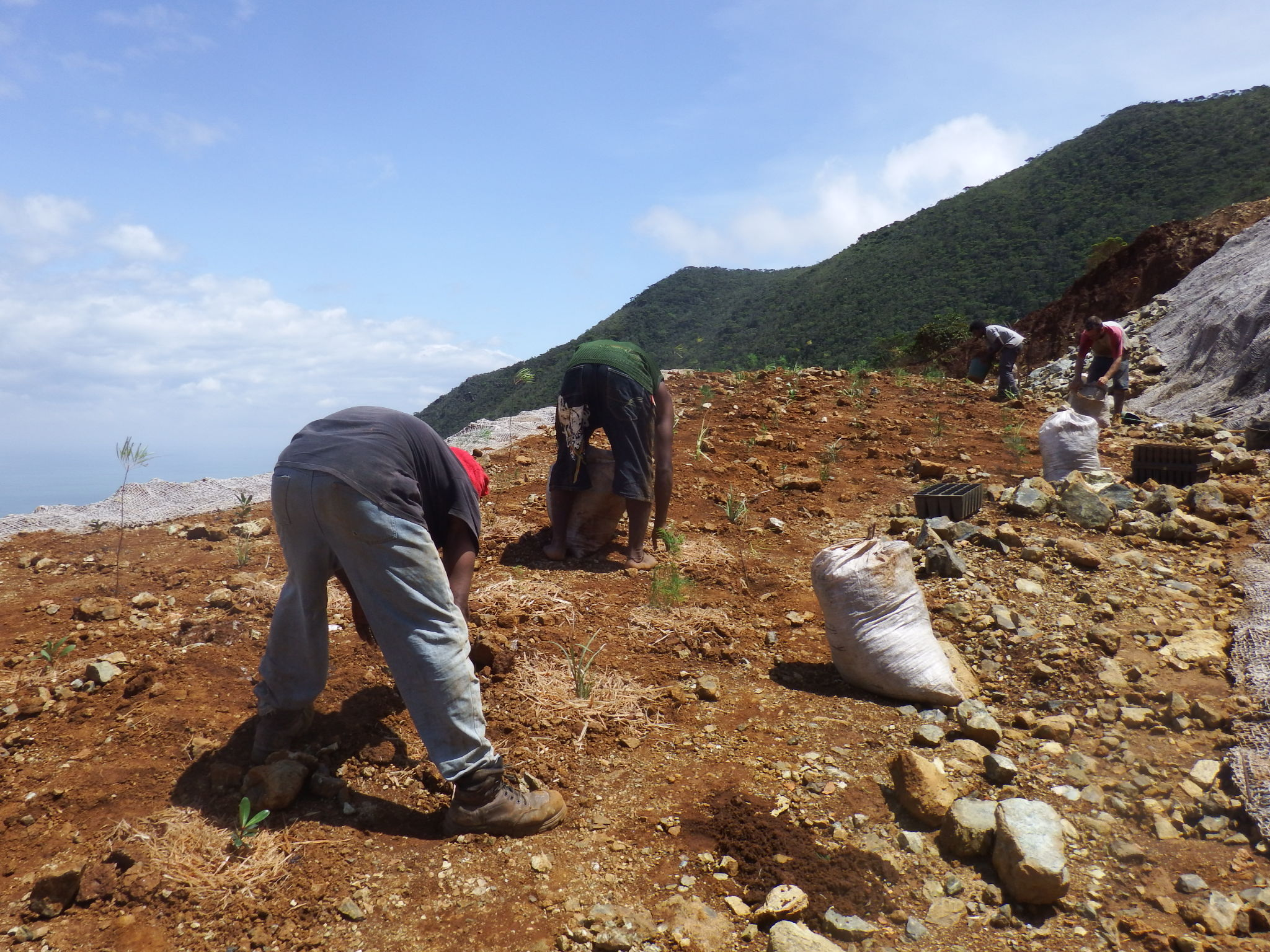 Plantation d'arbres de forêt sèche sur maquis minier